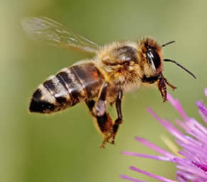 Native Irish Honey Bee