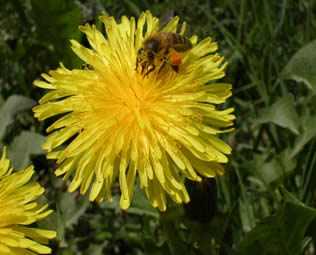 Honey Bee gathering Pollen from a Dandelion